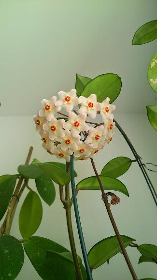 Hoya carnosa DSC_000001