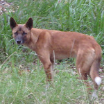 Beware of Dingos at Stewart and Lloyds campground