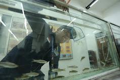 Cara Budidaya Ikan Wader Pari dari Dosen UGM