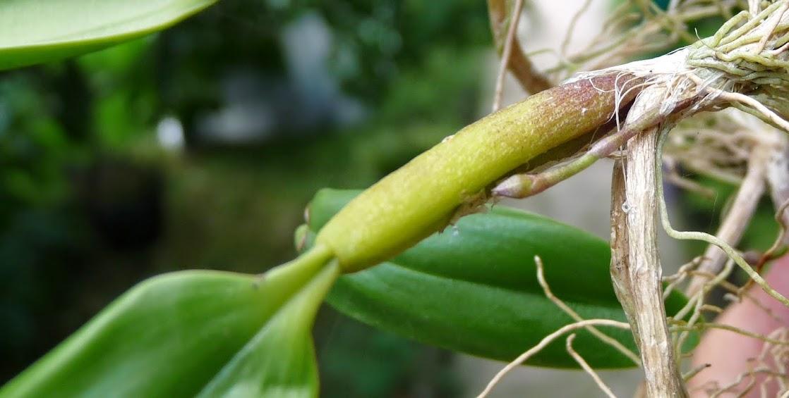 Bulbophyllum ambrosia P1420798