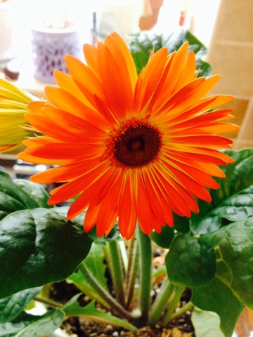 My Sunday Photo - Orange Gerbera