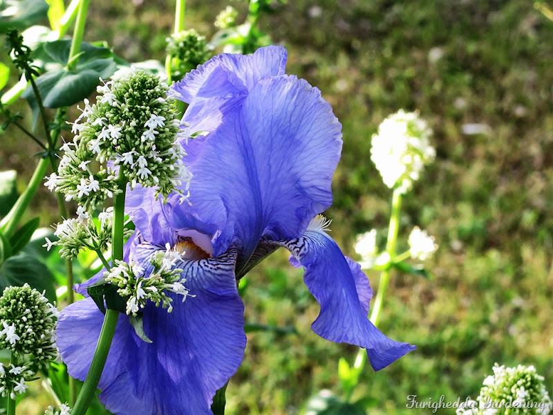 josie garden iris 3