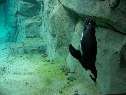Penguin at the National Aviary