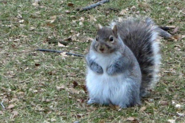Chubby squirrel on the Wartburg College campus, 10 January 2016. Photo: Wartburg College