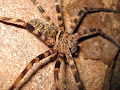 Huntsman spider | photo © Matt Kirby