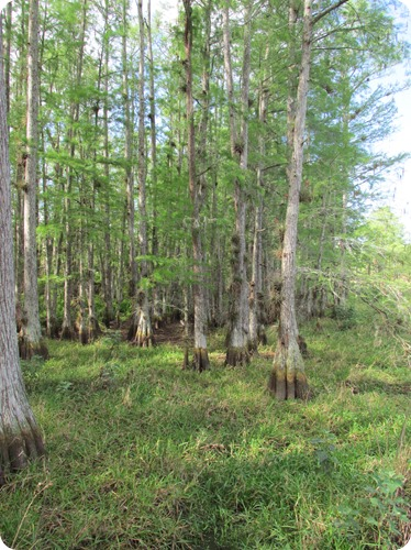 10 Bald Cypress Swamp (1)
