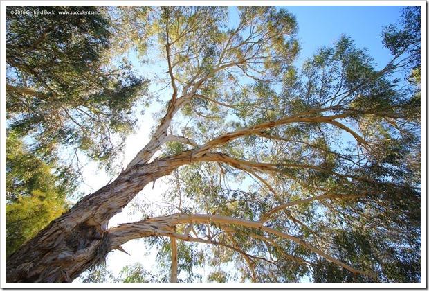 160813_UCSC_Arboretum_Eucalyptus-laeliae_012