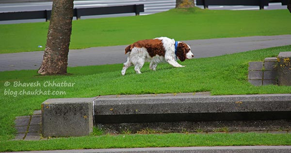 St. Bernard dog having a quick walk at Frank Kitts Park at Wellington [New Zealand]