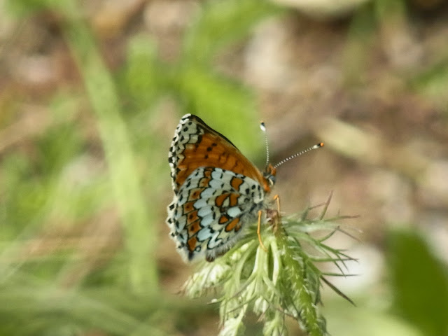 Melitaea cinxia (L., 1758). Podkumok, alt. 700 m (kraï de Stavropol), 18 août 2014. Photo : J. Michel