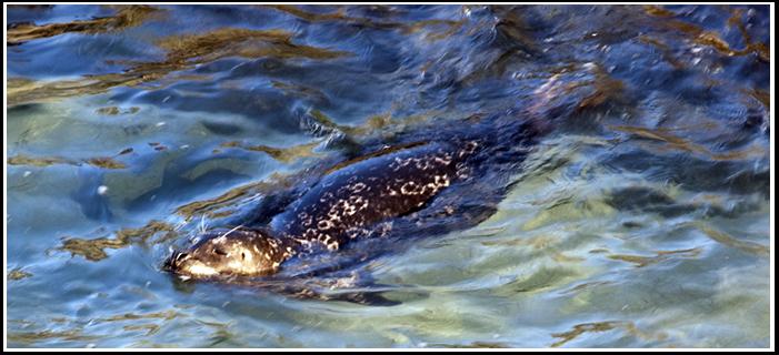 IMAGE: https://lh3.googleusercontent.com/-VvKdu3a7gzc/TWyjNt5M8YI/AAAAAAAAAME/LLAn-8nJE-Y/s701/swim_seal.jpg