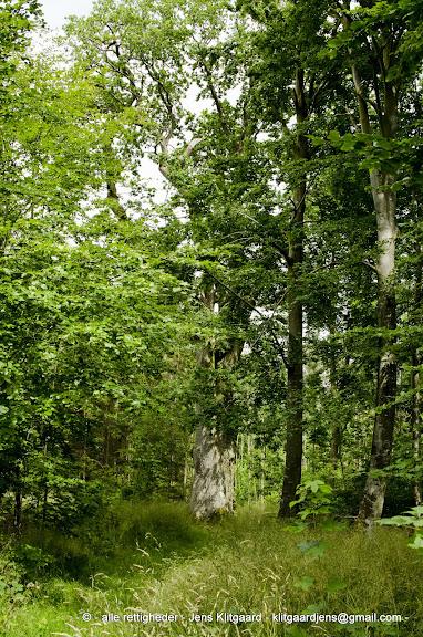 Kongeegen i Østerskoven ved Haderslev