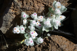Namibian Edelweiss