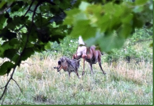 D2018-07-11 45 - Cades Cove Walk -  The Chase continues & moves out of sight