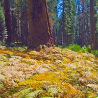 sequoia_10