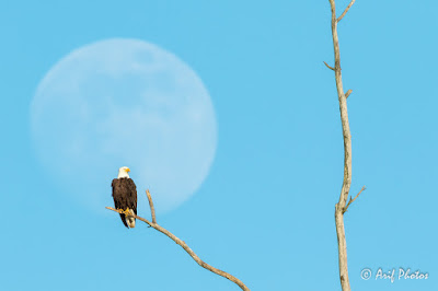 Muhammad Arif - Bald Eagle