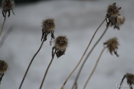 Gaillardia in winter
