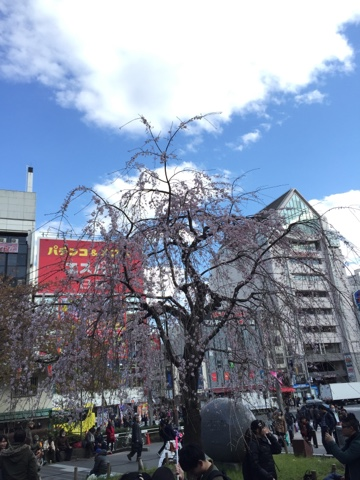 Weeping cherry tree ueno