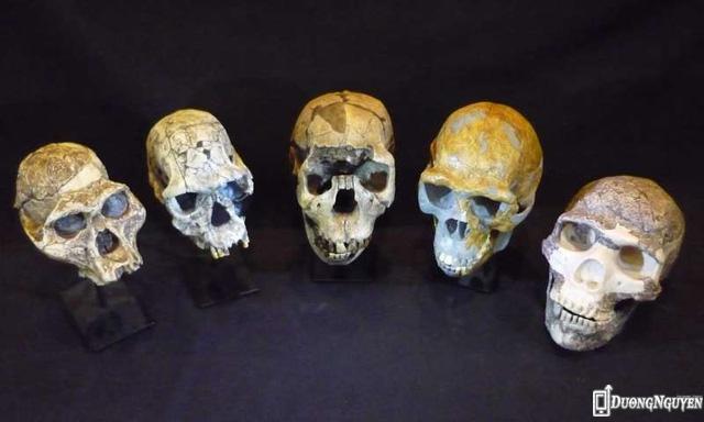Từ trái qua phải: Hộp sọ hoá thạch người Australopithecus afarensis, Homo habilis, Homo ergaster, Homo erectus và Homo neanderthalensis.