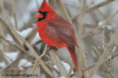 The northern cardinals pliers-shaped beak - great for cracking nuts. The dark red tells us this is a male.