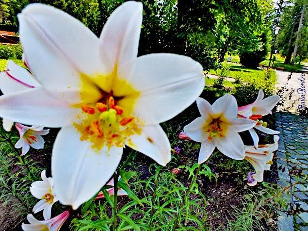 flori borsec