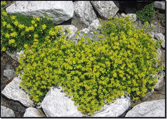2617-Biting-Stonecrop-Sedum-acre