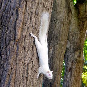 Albino eekhoorn in The Company's Garden