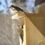 House Sparrows (male above, female below)