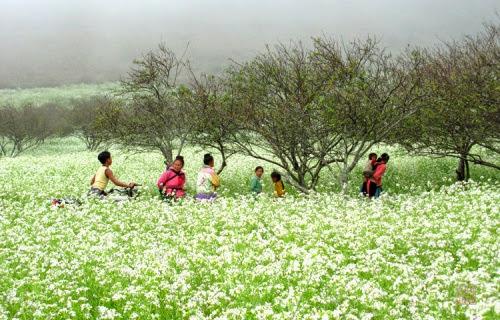 295 Mộc Châu đẹp tinh khôi mùa cải trắng
