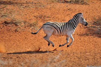 Photo: Zebra on full speed. Mokala National Park.