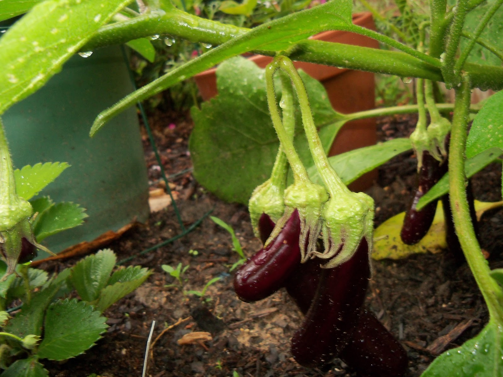 Gardening 2010, Part Two - 101_3200.JPG