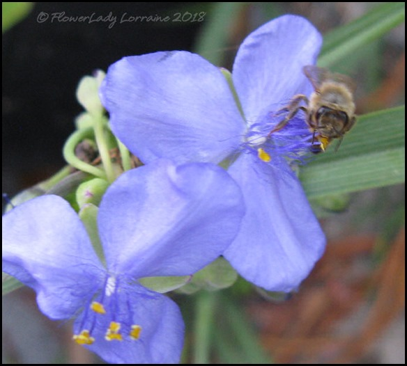 04-16-spiderwort-bee2