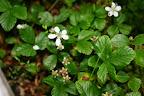 Bog dewberry (Rubus hispidoides)