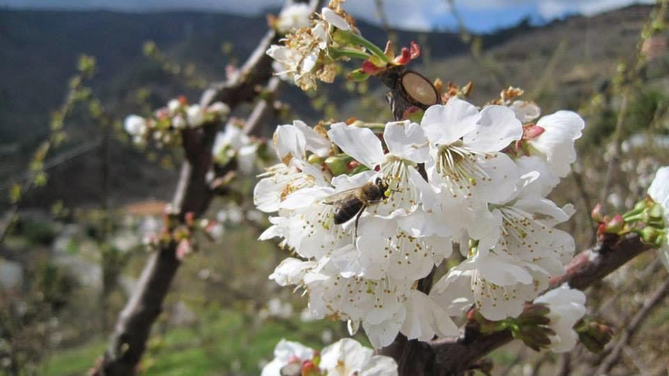 Cerejeiras em flor - Penajóia