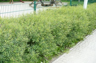 Wierzba purpurowa 'Nana' Salix purpurea nana