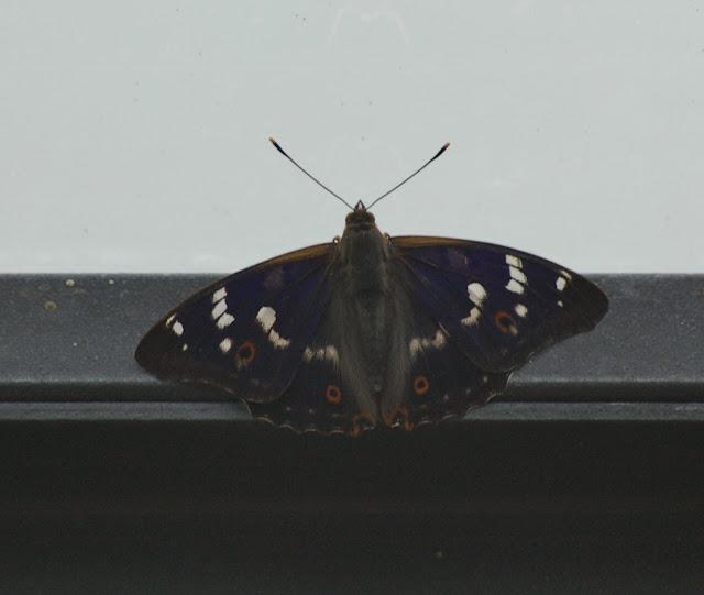 Apatura ilia DENIS & SCHIFFERMÜLLER, 1775, mâle. Les Hautes-Lisières (Rouvres, 28), 13 juin 2011. Photo : J.-M. Gayman