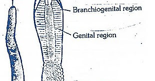 BALANOGLOSSUS-EXTERNAL MORPHOLOGY | BIOZOOM