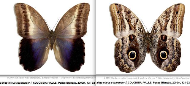 Caligo oileus scamander (Boisduval, 1870) ♂. http://butterfliesofamerica.com/L/imagehtmls/Nymph/Caligo_oileus_scamander_M_COL_VALLE_Penas_Blancas_2000m_12-I-92-MGCL-0024_i.htm