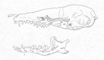 cranio-talpa