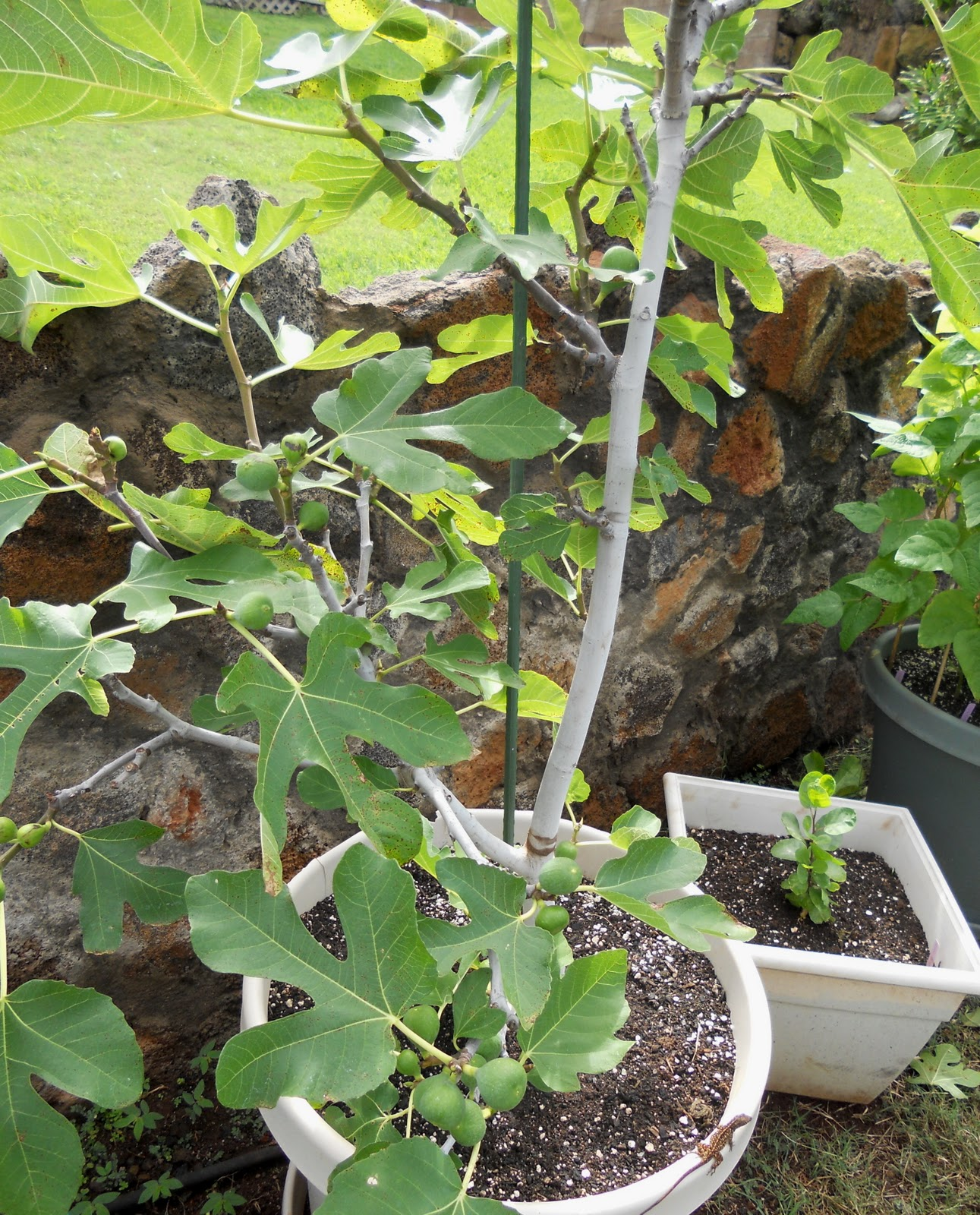 Growing Container Fruit Trees In Kihei