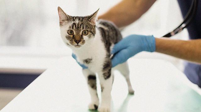 Por que castrar gatos machos?