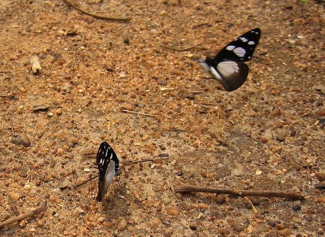 Amauris tartarea MABILLE, 1876, femelle (à droite). Bobiri Forest (Ghana), 18 janvier 2006. Photo : Henrik Bloch