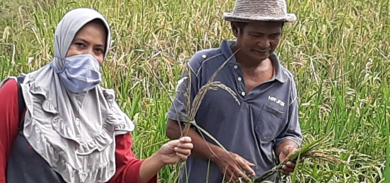 A. Nurlina Penyuluh Pertanian : Kami Senang Bisa Dampingi Petani Panen Padi Meski Ditengah Pendemi Covid-19