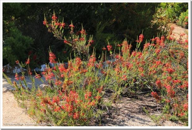 160813_UCSC_Arboretum_134