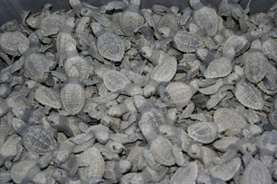 Baby razor back turtles