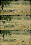 Baby Giraffes and Elands