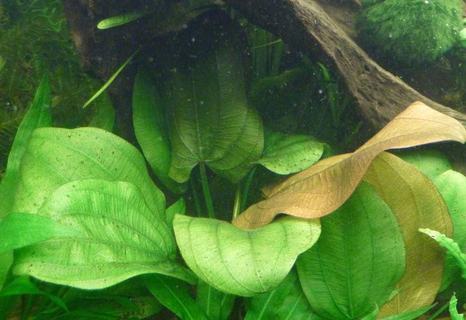 Эхинодорус шероховатый (Echinodorus scaber)
