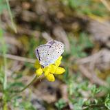 Polyommatus escheri escheri (HÜBNER, 1823), mâle. Tras le Mont, Cocurès, 740 m (Lozère), 7 août 2013. Photo : J.-M. Gayman