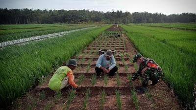 Babinsa Karangwuni Laksanakan Pengecekan Tanaman Bawang Merah Bersama Petani