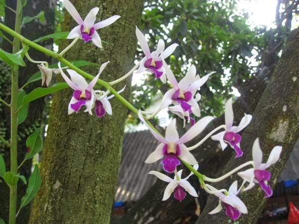 Vẻ đẹp của giống hoa lan dendro nắng cấp cao, ít có và giá cao