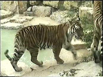 1995.06.16-026 tigre